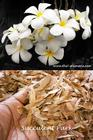 """Plumeria Obtusa """"SINGAPORE WHITE"""" SEEDS"""