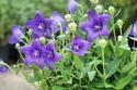 ดอกไม้เทศและดอกไม้ไทย  ต้น 96. บอลลูนฟลาวเวอร์