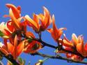 ดอกไม้เทศและดอกไม้ไทย ต้นที่ 17.กวาวเครือ