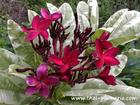 """Variegated Plumeria """"SIAM RED"""" grafted plant"""