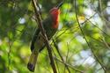 นกจาบคาเคราแดง