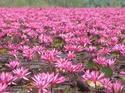 ดอกไม้เทศและดอกไม้ไทย  ต้น 116.บัวสาย