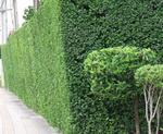 ต้นข่อยทำรั้ว