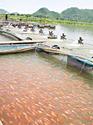 ปลาทับทิมสร้างอาชีพเกษตรกรไทย