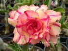 """Rosy Adenium Obesum (Desert Rose) """"LUENG LAI"""" Grafted Plant"""