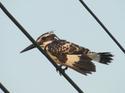 นกกระเต็นปักหลัก โดยธงชัย เปาอินทร์ เรื่อง-ภาพ