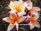 "Plumeria ""SALMON PINK"" grafted plant"