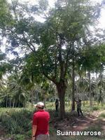 ต้นไม้ใหญ่ยืนต้น 4