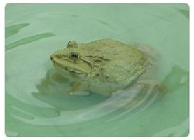 Inter Frog Farm (อินเตอร์ ฟร็อก ฟาร์ม) จำหน่ายลูกกบ ขายลูกกบ ลูกกบ ลูกอ็อด กบเนื้อ อาหารกบ ราคาถูก จำนวนมาก ทั้งปลีก-ส่ง สนใจติดต่อ 086-3146057 เกรียงไกร