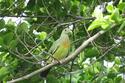 นกเปล้าอกสีม่วงน้ำตาล