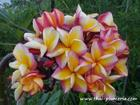 "Plumeria ""FRUIT SALAD"" grafted plant"