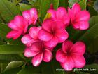 "Plumeria ""SIAM RUBY"" grafted plant"