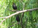 นกเอี้ยงหงอน นกเสียงดังฟังชัด โดยธงชัย เปาอินทร์ เรื่อง-ภาพ