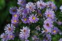 ดอกไม้เทศและดอกไม้ไทย  ต้น112.พีค็อก คลัสเตอร์