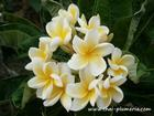 "Dwarf Plumeria ""SIAM YELLOW"" grafted plant"