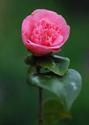 ดอกไม้เทศและดอกไม้ไทย  ต้น 50.คาเมลเลีย
