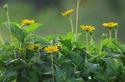 ดอกไม้เทศและดอกไม้ไทย  ต้น 72.กระดุมทองเลื้อย