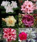 6 Adenium Obesum Plants SET no.1 + shipping