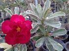 "Variegated Adenium Obesum (Desert Rose) ""SUP JAROEN"" Grafted Plant"