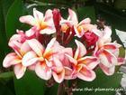 """Plumeria """"BHUDARAKSA"""" grafted plant"""