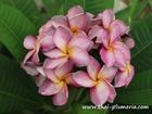 """Plumeria """"P26"""" grafted plant"""