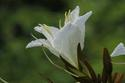 ดอกไม้เทศและดอกไม้ไทย ต้น 38. อรพิม