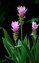 ดอกไม้เทศและดอกไม้ไทย ต้น 43.กระเจียว