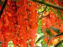 ดอกไม้เทศและดอกไม้ไทย ต้น 121. พวงโกเมน