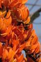 ดอกไม้เทศและดอกไม้ไทย ต้น 19.ทองกวาว