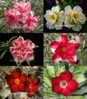 6 Adenium Obesum Plants SET no.3 + shipping