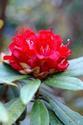 ดอกไม้เทศและดอกไม้ไทย ต้น 37.คำแดง