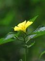 ดอกไม้เทศและดอกไม้ไทย  ต้น 55.บานเช้าสีเหลือง