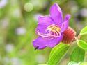 ดอกไม้เทศและดอกไม้ไทยต้น 36.โคลงเคลงยวน