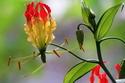 ดอกไม้เทศและดอกไม้ไทย  ต้น60. ดองดึง