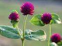 ดอกไม้เทศและดอกไม้ไทย  ต้น 100.บานไม่รู้โรย