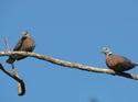 นกเขาไฟ นกเขาสีเข้มสวย ชุมมาก โดยธงชัย เปาอินทร์ เรื่อง-ภาพ
