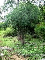 ต้นไม้ในป่า4