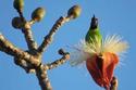 นกเขียวก้านตองหน้าผากสีทอง