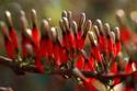 ดอกไม้เทศและดอกไม้ไทย  ต้น92.ประทัดทอง