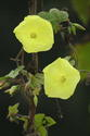 ดอกไม้เทศและดอกไม้ไทยต้น 40.จิงจ้อเหลือง