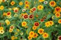 ดอกไม้เทศและดอกไม้ไทย  ต้น 89.บานชื่นหนู
