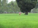 ต้นไม้ในนาข้าว สวยดี โดย ป่าน ศรนารายณ์ เรื่อง-ภาพ