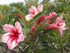 """Adenium Obesum (Desert Rose) """"LIPSTICK"""" Grafted Plant"""