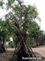 ต้นไม้ใหญ่ยืนต้น 1