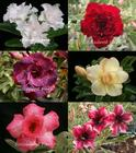 6 Adenium Obesum Plants SET no.6 + shipping