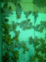 ขายลูกกบ ขายลูกปลาดุก 0863146057 เกรียงไกร 0890852945 คุณเดือน
