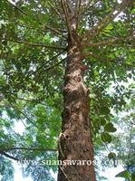 ต้นไม้ใหญ่ยืนต้น 2