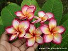 "Plumeria ""BEAUTIFUL SUNSHINE"" grafted plant"