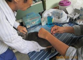 ฉีดวัคซีนกระตุ้นไข้หัดหวัดแมว และพิษสุนัขบ้า ลิวคีเมีย