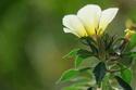 ดอกไม้เทศและดอกไม้ไทย  ต้น52.บานเช้าสีนวล